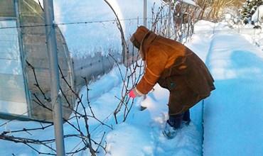 Укрытие винограда снегом.