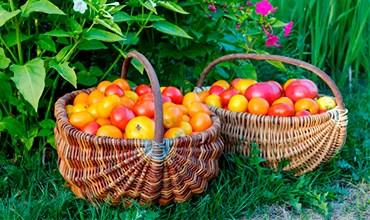 Новые улучшенные сорта томатов