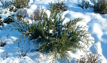 Спасаем хвойные растения из снежного плена