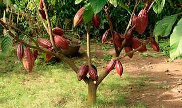 Шоколадное дерево (какао) в средней полосе России