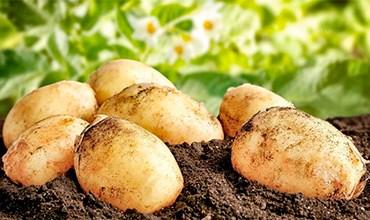 Посадка картофеля семенами