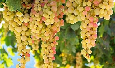 Как выбрать качественный саженец винограда?