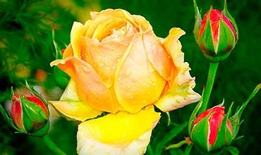Новые сорта роз алтайской селекции