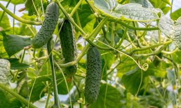 Какие сорта и гибриды огурцов посадить в этом году?