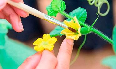 Искусственное опыление растений на подоконнике