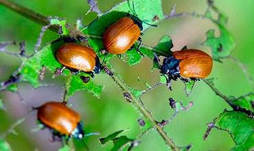 Как избавиться от вредителя жука-листоеда?