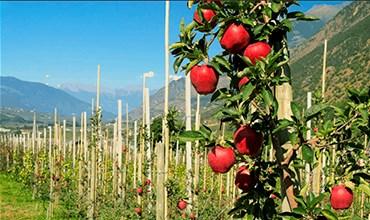 Колоновидная яблоня: посадка и уход
