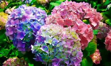 Советы для пышного цветения гортензий