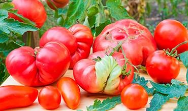 """Почему деформируются помидоры и появляется """"кошачья морда""""?"""