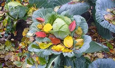 Топ-5 сортов поздней капусты для квашения и засолки