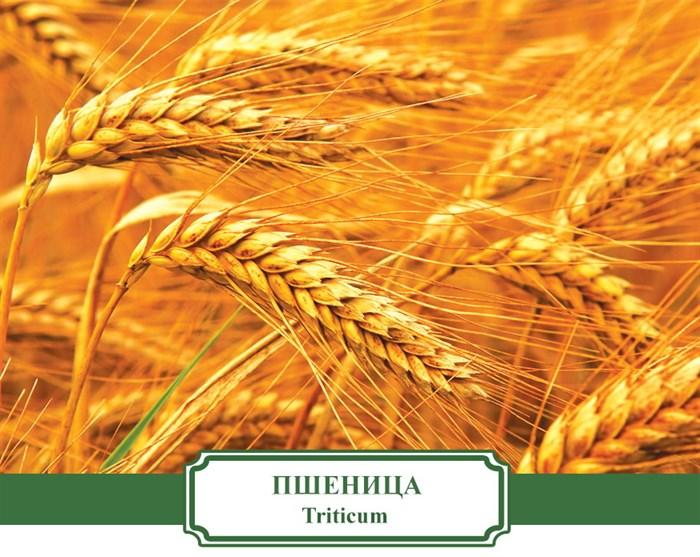 Сидерат Пшеница