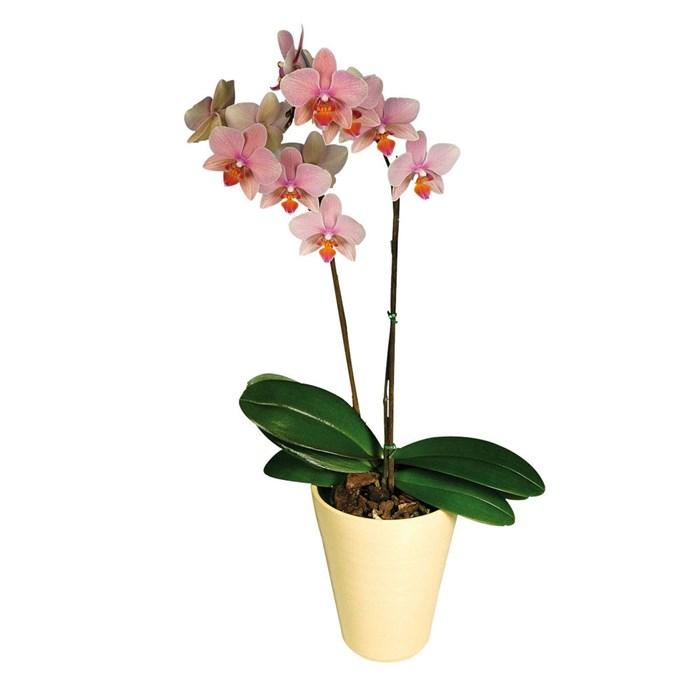 Орхидея Фаленопсис 2 ст
