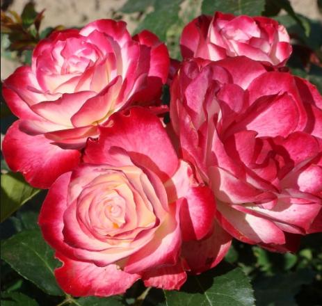 Роза Принц Монако - фото 48984