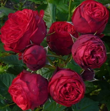 Роза Пиано - фото 48985