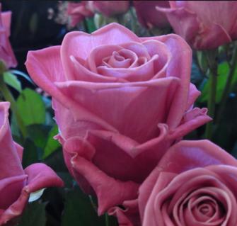 Роза Аква - фото 48990