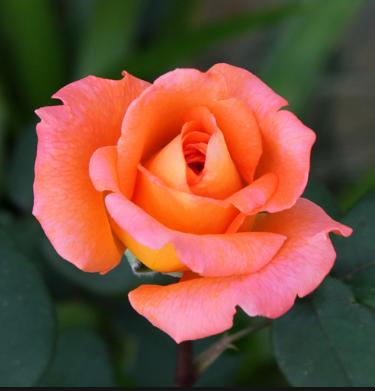 Роза Амбассадор - фото 48992