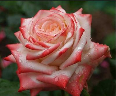 Роза Император Фарах - фото 49019