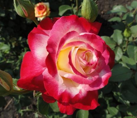 Роза Дабл Делайт - фото 49095
