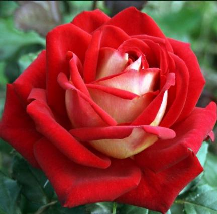 Роза Кроненбург - фото 49105