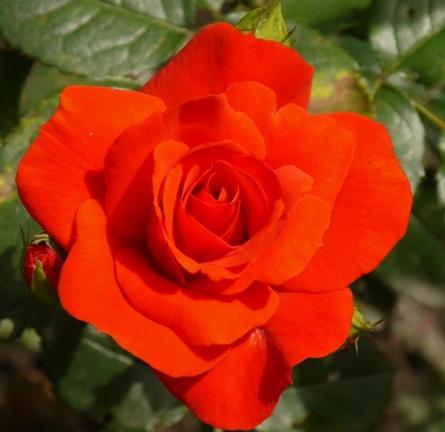 Роза Чин Чин - фото 49161
