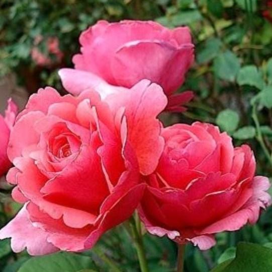 Роза Лин Рено - фото 52870