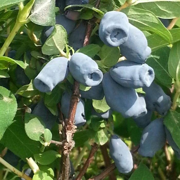 Жимолость голубая - фото 53929