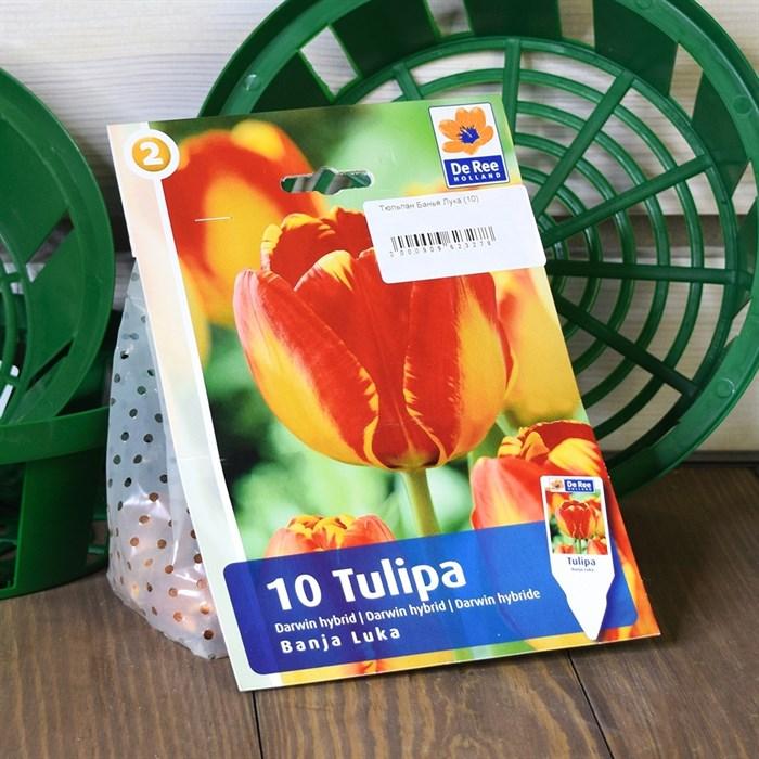 Тюльпан Банья Лука (10) - фото 61049