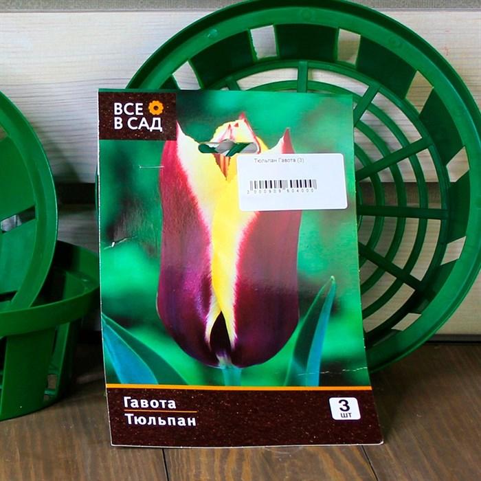 Тюльпан Гавота (3) - фото 61053
