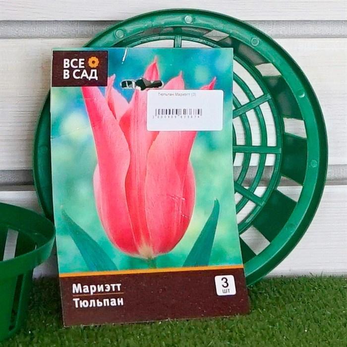 Тюльпан Мариэтт (3) - фото 61360