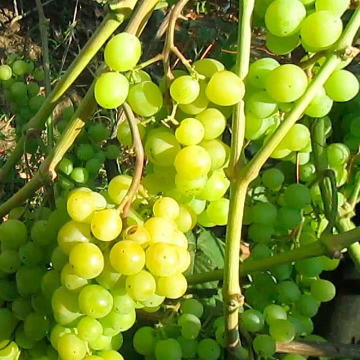Виноград Алекса ранняя - фото 73159