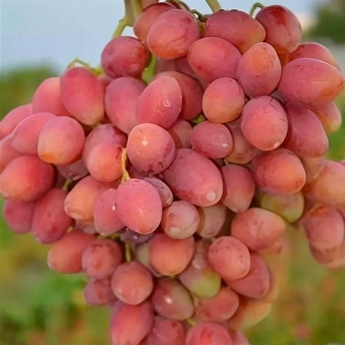 Виноград Анжелика - фото 73160