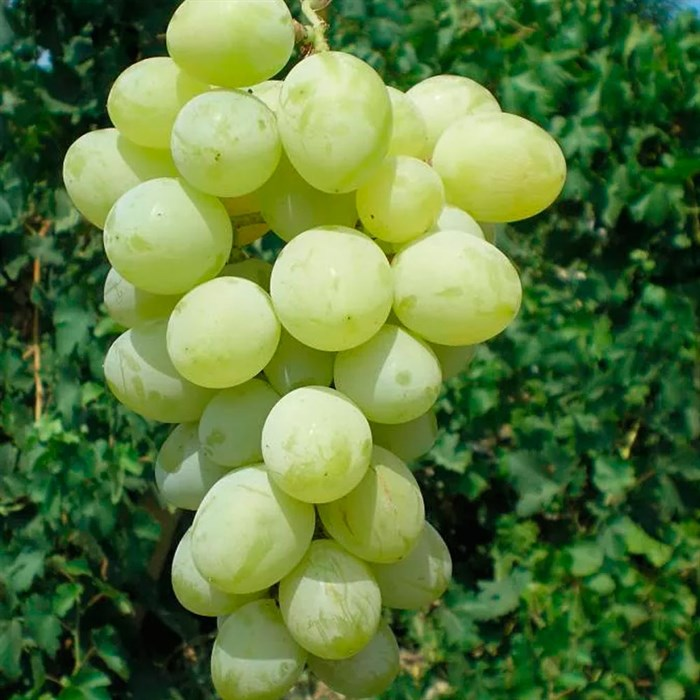 Виноград Вера - фото 73162