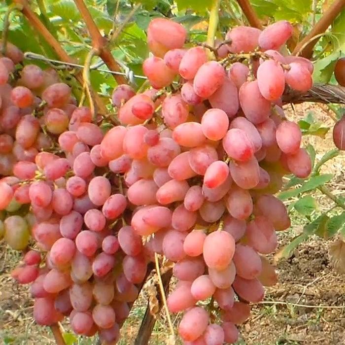 Виноград Гелиос - фото 73163
