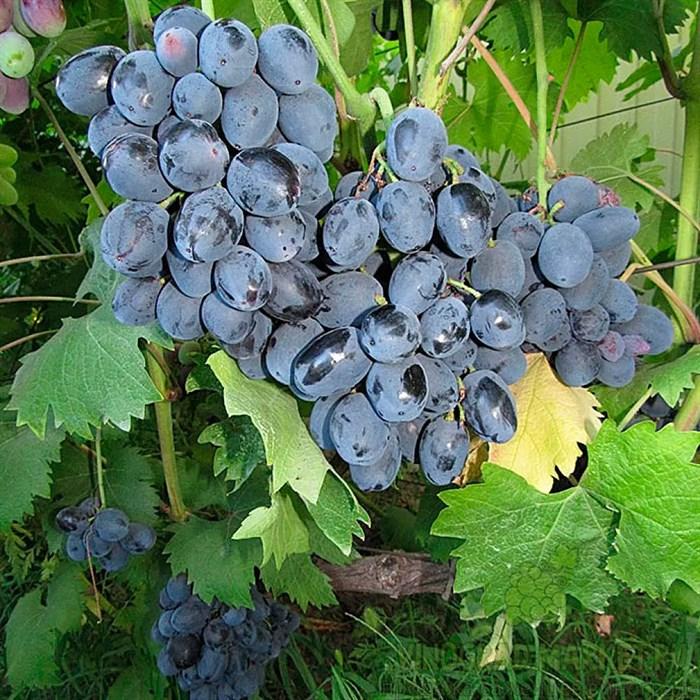 Виноград Руслан - фото 73170