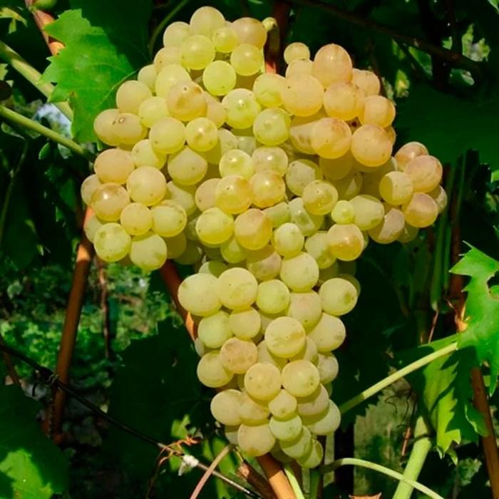 Виноград Кишмиш - фото 73174