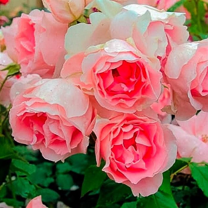 Роза Графиня Воронцова - фото 73180