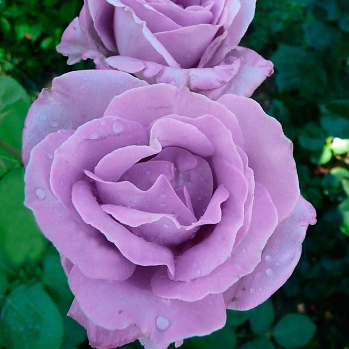 Роза Индиголетта - фото 73181