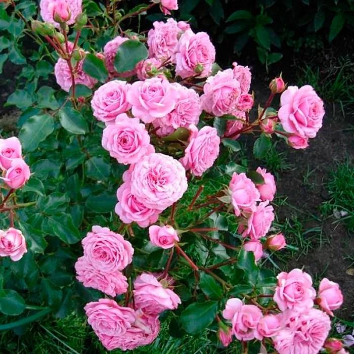 Роза Роял Боника - фото 73184