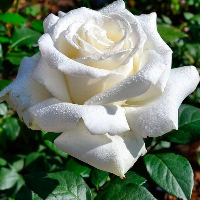 Роза Анетка - фото 73188
