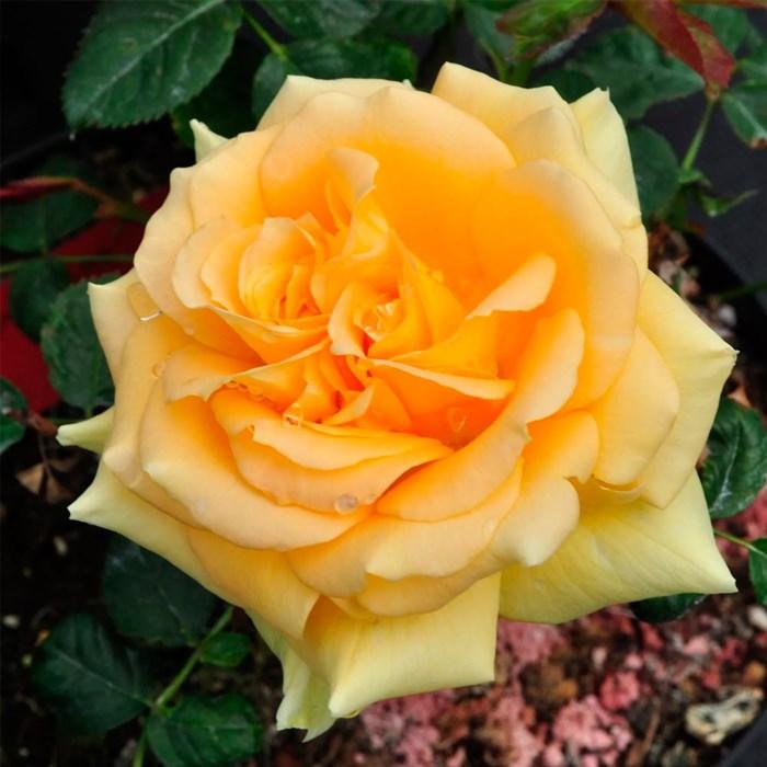 Роза Вандерфул - фото 73195