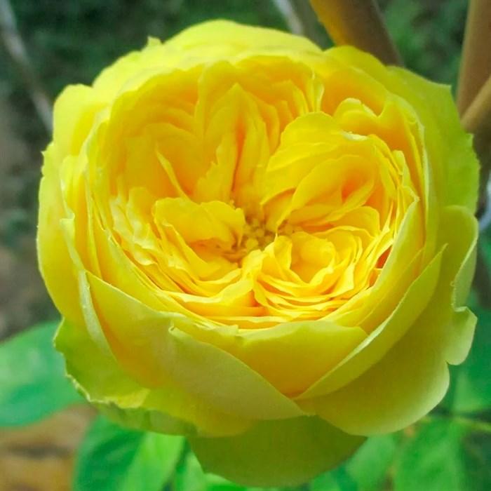 Роза Каталина - фото 73205