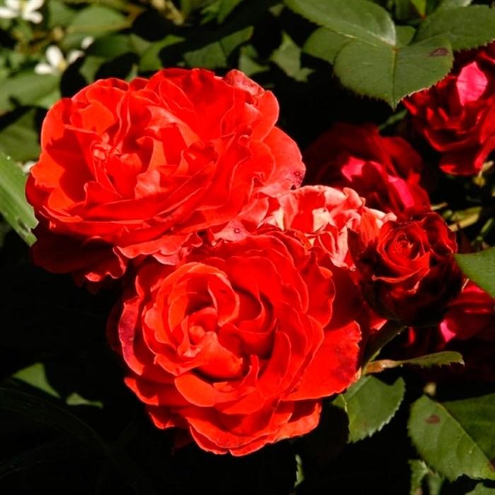 Роза Озо - фото 73214