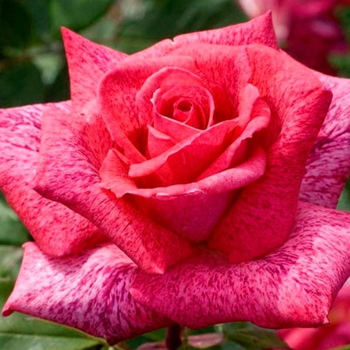 Роза Пьер карден - фото 73216