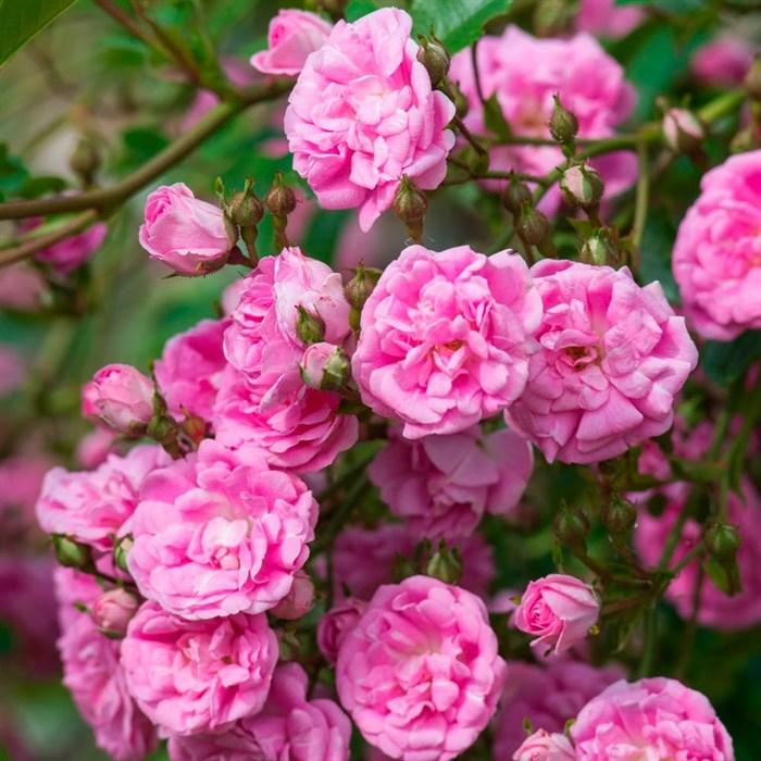 Роза Супер Дороти - фото 73221