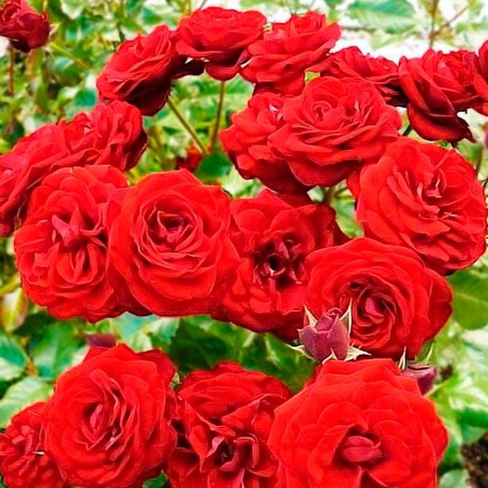 Роза Таманго - фото 73222