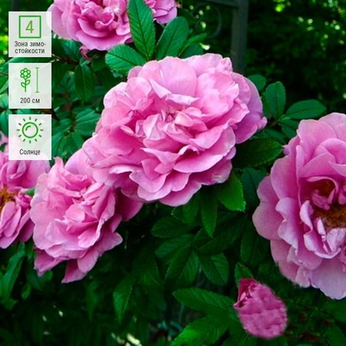 Роза Тереза Багнет канадская - фото 73223