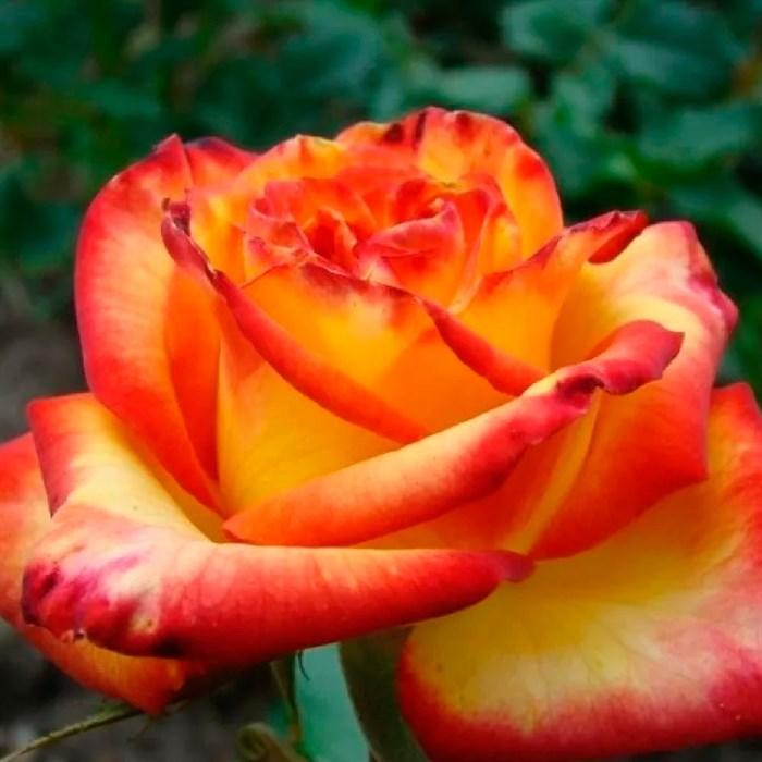 Роза Тукан - фото 73228