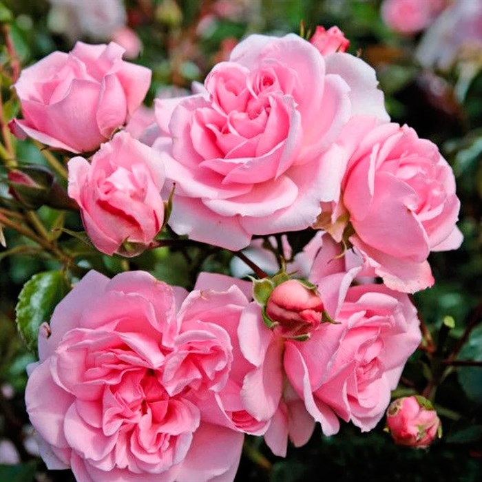 Роза Хом энд Гарден - фото 73229