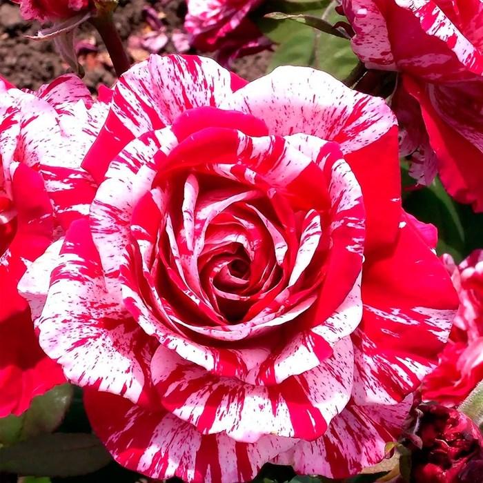 Роза Эрров Фолис - фото 73232