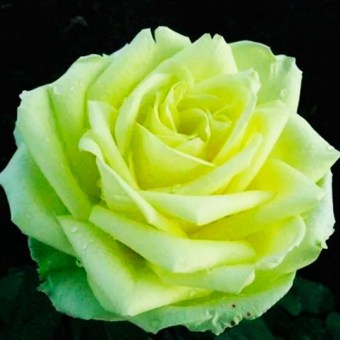 Роза Юмба - фото 73233